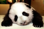 Sad, disappointed panda
