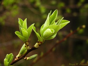 Buds of spring