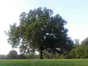 large_tree