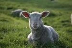 Lamb Lying in Green Pasture