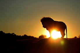 Lion at Sunrise