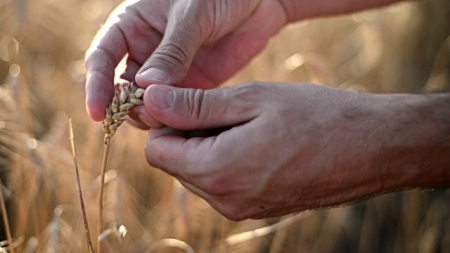 Farmer hands sifting wheat