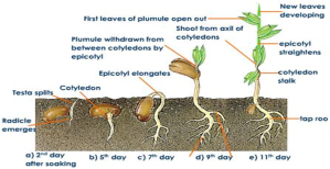 Growth process of wheat